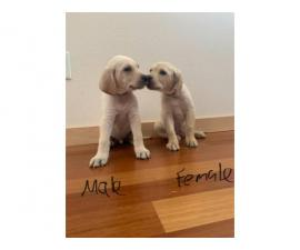 2 Yellow Lab Puppies for Sale