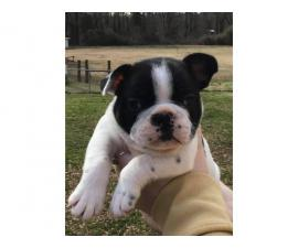 3 AKC French Bulldog puppies for sale