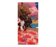2 Gorgeous tiny Chiweenie puppies
