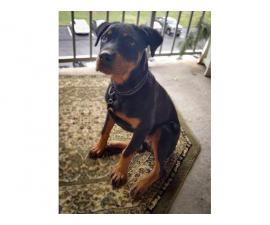 4 month old Rottweiler puppy looking for a new home