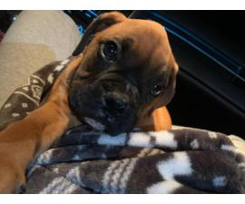 Akc male fawn boxer puppy for sale
