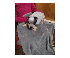 6 Blue heeler puppies for sale