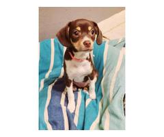 1 Pocket Beagle Puppy Left