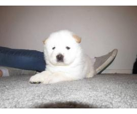 5 Chow Chow puppies for sale
