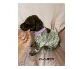 6 German Shorthaired pointer puppies for sale