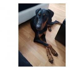Full AKC Doberman puppy in need of a new home
