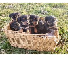 Dachshund Yorkie Puppies