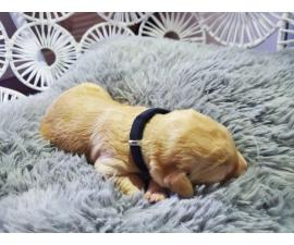 3 Labradoodle puppies available