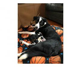 2 Purebred Border Collie Puppies for Sale