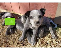 2 Blue heeler puppies left