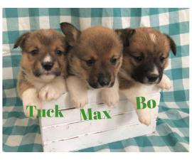 4 males and 6 females corgi puppies for sale