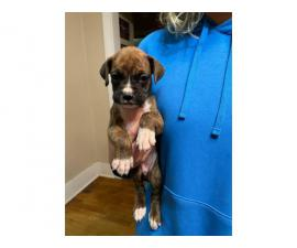 4 Boxer Puppies Ready for Good Homes