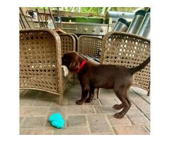 10 weeks old Chocolate Labrador Retriever
