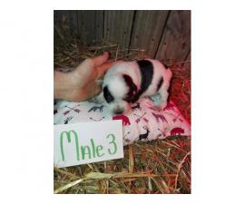 6 Purebred Blue Heeler Puppies available
