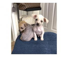 Purebred Chinese crested puppies for sale
