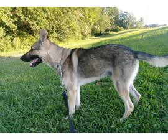 Litter of 7 German shepherd puppies