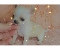 8 Purebred Chihuahua Puppies needing new homes