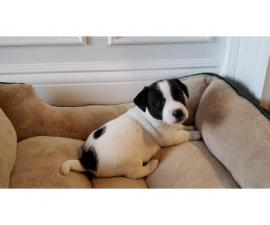 Purebred Jack Russell Terrier puppy for sale