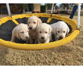 Beautiful AKC Lab Puppies Needing New Homes