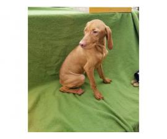 16 weeks Vizsla puppies for sale