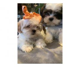 9 weeks old Pure Shihtzu puppies