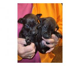 1 male and 2 female Chiweenie puppies