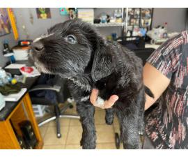 Sweet Labradoodle puppies in need of their loving homes