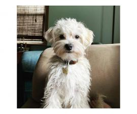 1 year old Morkie