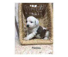 Purebred AKC registered  St. Bernard puppies for sale
