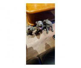 6 Purebred blue and fawn Pit bull puppies