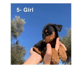 4 Doberman puppies for sale