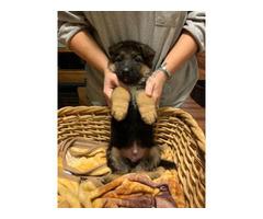 3 purebred German Shepherd