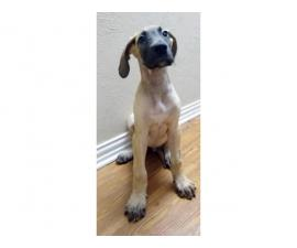 2 Male Great Dane Puppies for Sale