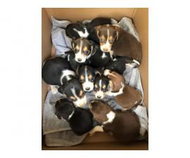 Beagle puppies 3 girls 6 boys
