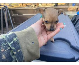10 weeks old miniature chihuahua puppy for sale