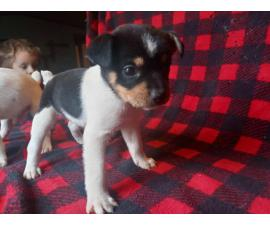 2 male jack russel puppies available