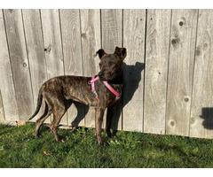 Female Weimaraner mix puppy for adoption