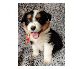 8 Aussie puppies for sale
