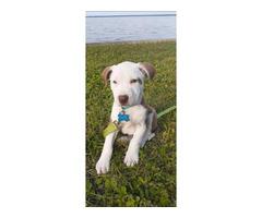 12 week old male Pit puppy