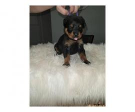 4 female AKC Rottweiler puppies for sale