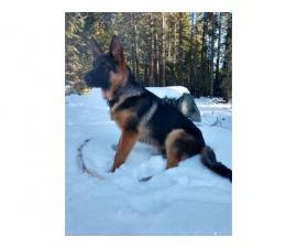 7 months old AKC German shepherd puppy for sale