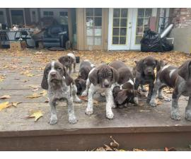 German Shorthaired Pointer puppies males and females available