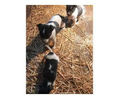 3 Rat Terrier Puppies Needing New Home