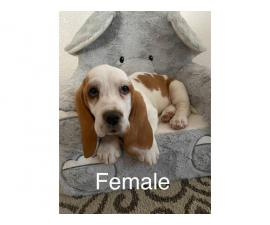 Three purebred basset hound puppies are ready for rehoming