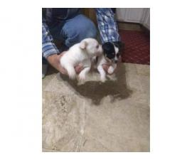 2 Chihuahua puppies in search of their forever homes