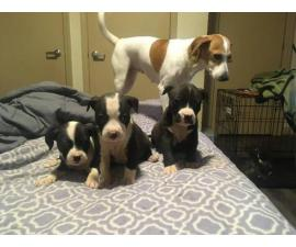 3 female full blooded Pit Bull puppies