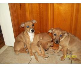 Rehoming 3 Jack Chi puppies