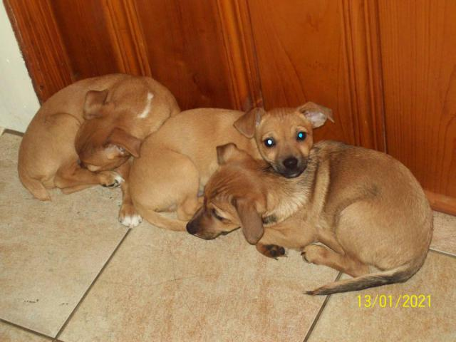 Rehoming 3 Jack Chi puppies in Rome, Georgia - Puppies for ...
