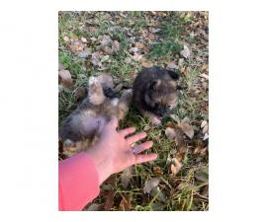 2 sweet Pomeranian puppies left