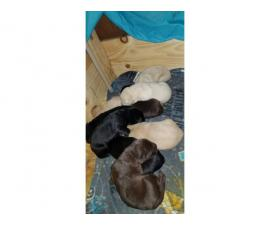 Lab puppies for sale 4 yellow 2 black